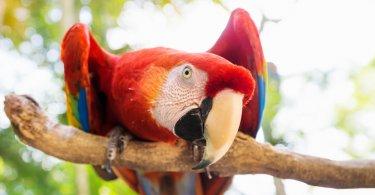 Amerikan papağan türü