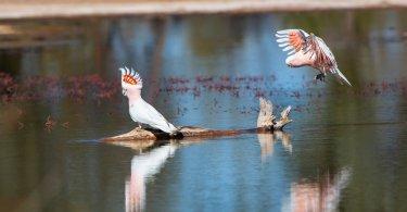 Pembe Kakadu Papağanı Özellikleri