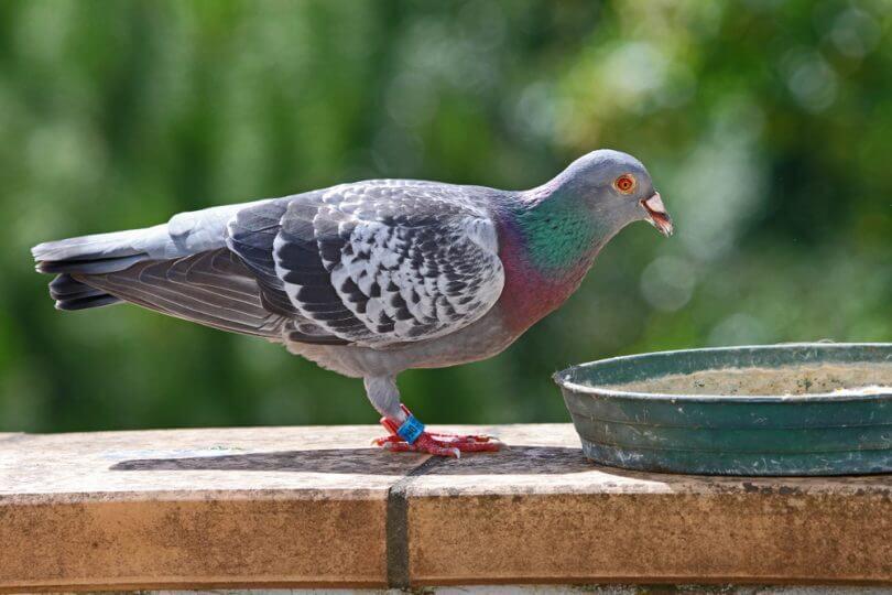 en çok görülen güvercin hastalıkları