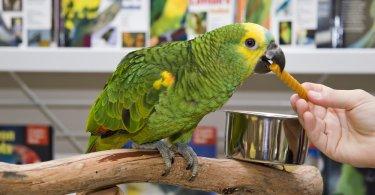 sarı enseli amazon papağanı özellikleri