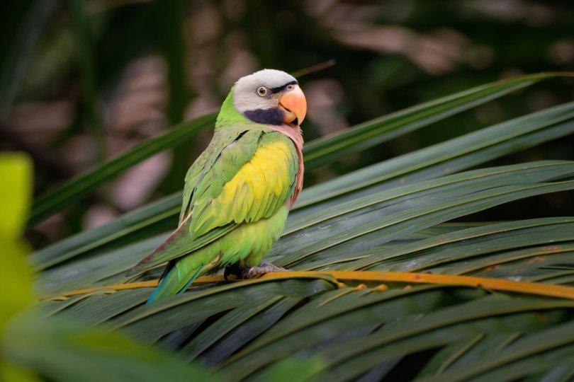 Bıyıklı Muhabbet Kuşu Özellikleri