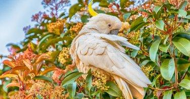 Kükürt Taçlı (büyük) Kakadu Papağanı Özellikleri