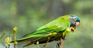mavi taçlı konur papağanı özellikleri