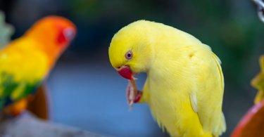 gül halkalı muhabbet kuşu özellikleri