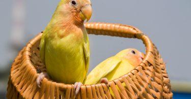 lutino muhabbet kuşu