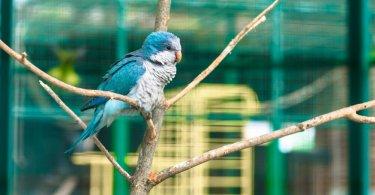monk papağanı özellikleri