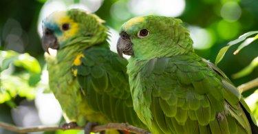 mavi alınlı amazon papağanı özellikleri
