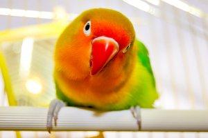 cennet papağanı konuşur mu
