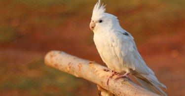 Sultan Papağanı Yetiştirmek