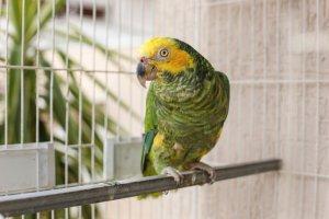 eğitilmesi kolay kuş türleri
