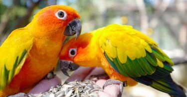 küçük papağan türleri