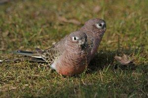 en küçük evcil kuş türleri