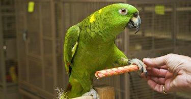 amazon papağan türleri