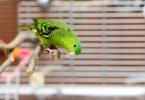Çizgili Muhabbet Kuşu Özellikleri