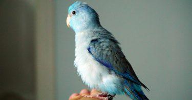 mavi papağan türleri