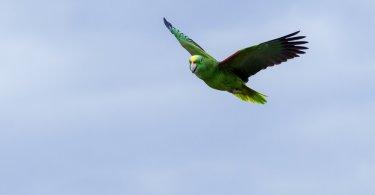 Amazon papağanı özellikleri