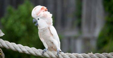 molukan kakadu papağanı özellikleri
