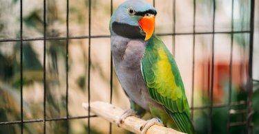 derbiyan papağanı özellikleri