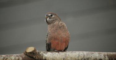gül karınlı muhabbet kuşu özellikleri