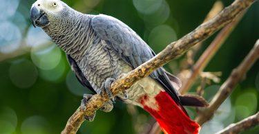 büyük evcil papağan türleri