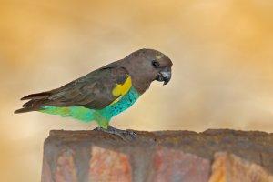 Meyer papağanı özellikleri ve bakımı