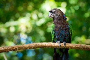 yelpazeli papağan özellikleri