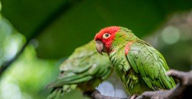Kiraz Başlı Muhabbet Kuşu Özellikleri