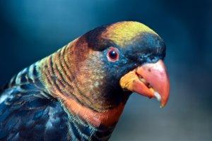 gölgeli pionus papağanı