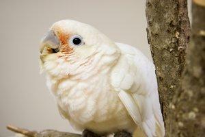 goffin kakadu papağanı