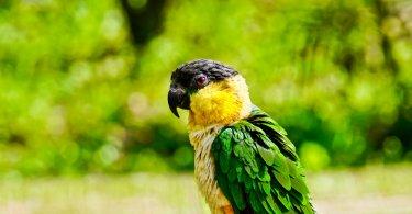 Kayık Papağanı Özellikleri