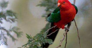 Avustralya Kral Papağanı özellikleri