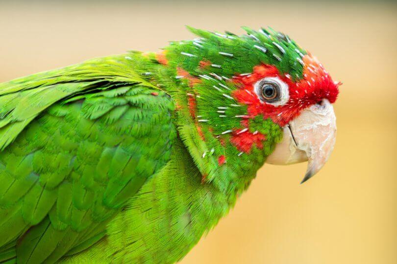 Mitred Konur Papağanı Özellikleri