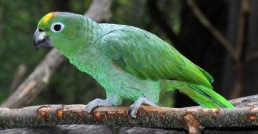 Güney Solgun Amazon Papağanı Özellikleri