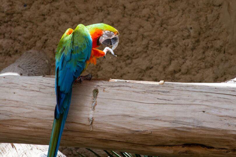 Harlequin Amerika Papağanı