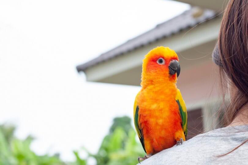 Altın Konur Papağanı Özellikleri