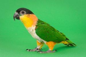 Kayık Papağanı