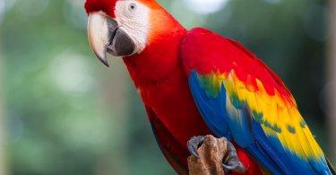 yeşil kanatlı Amerika papağanı özellikleri