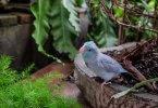 Pasifik Forpus Papağanı Özellikleri