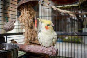 sultan papağanı