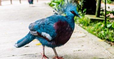 victoria taçlı güvercin