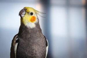 konuşan orta boy kuş cinsleri