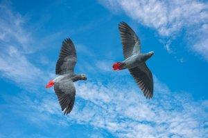 En Popüler Kırmızı Evcil Kuş Türleri