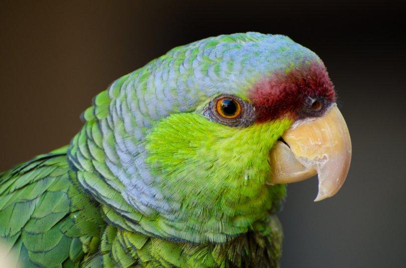 Leylak Taçlı Amazon Papağanı