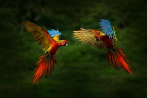 kızıl Amerika papağanı
