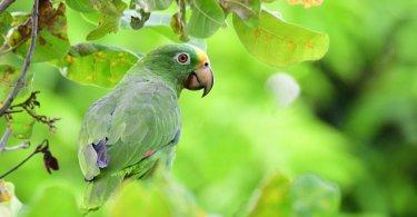 Panama Amazon Papağanı Özellikleri