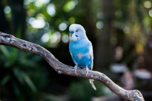 yaşlılar için muhabbet kuşu
