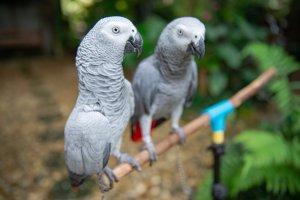 Afrika gri papağanları