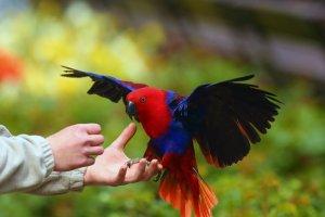eklektus papağanları