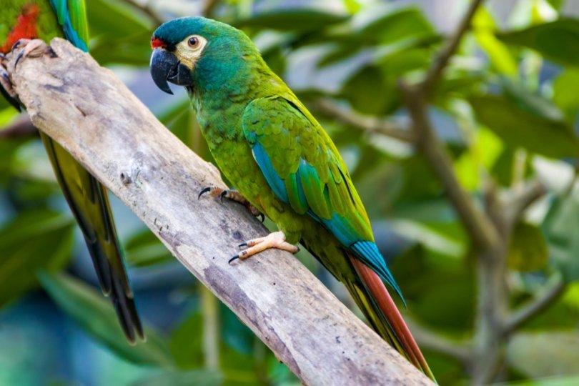 illiger'in Amerika papağanı özellikleri