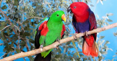 Eklektus papağanı özellikleri